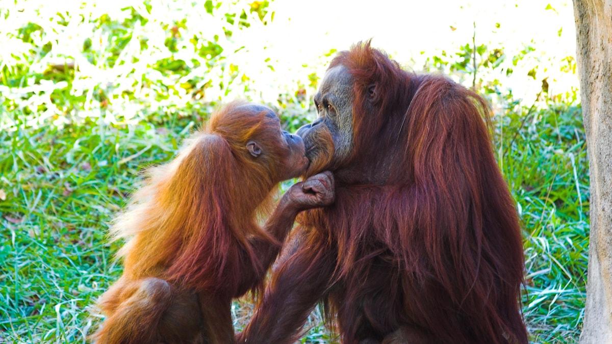 Apor som pussas