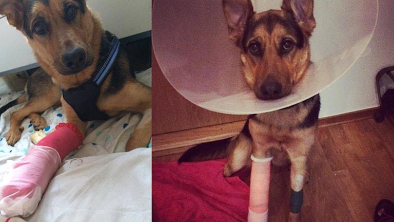 Hunden Inez som fick avlivas efter att hon skadat sig på avslagna flaskor som stod uppställda under snön.