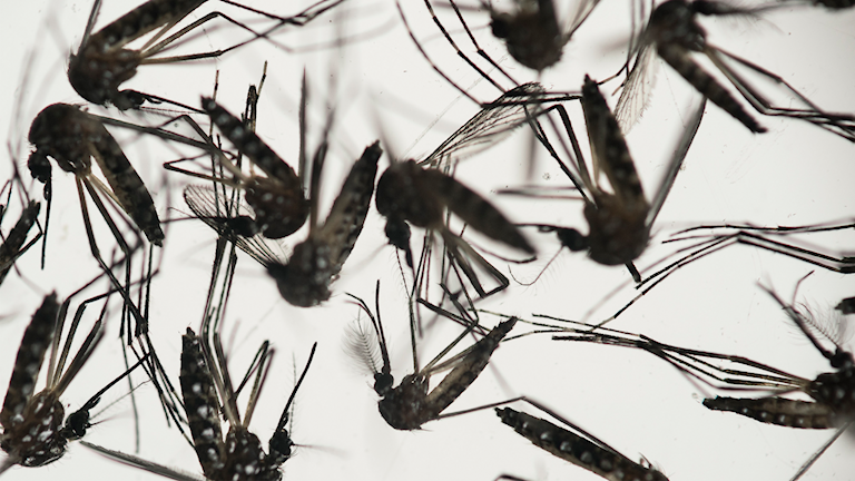 Närbild på myggor i petriskål. Foto: TT/AP/Felipe Dana