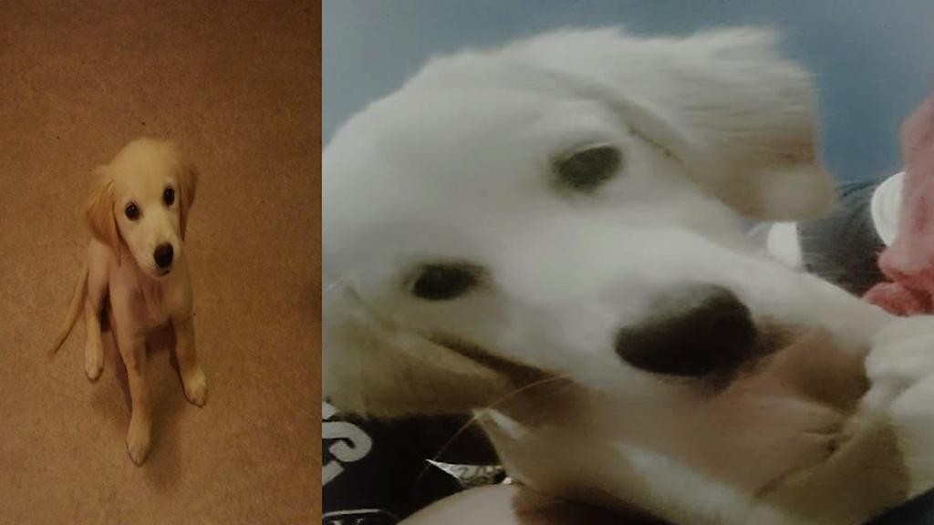 Två bilder på den lilla golden retriver-valpen Lisa. Foto: Privat