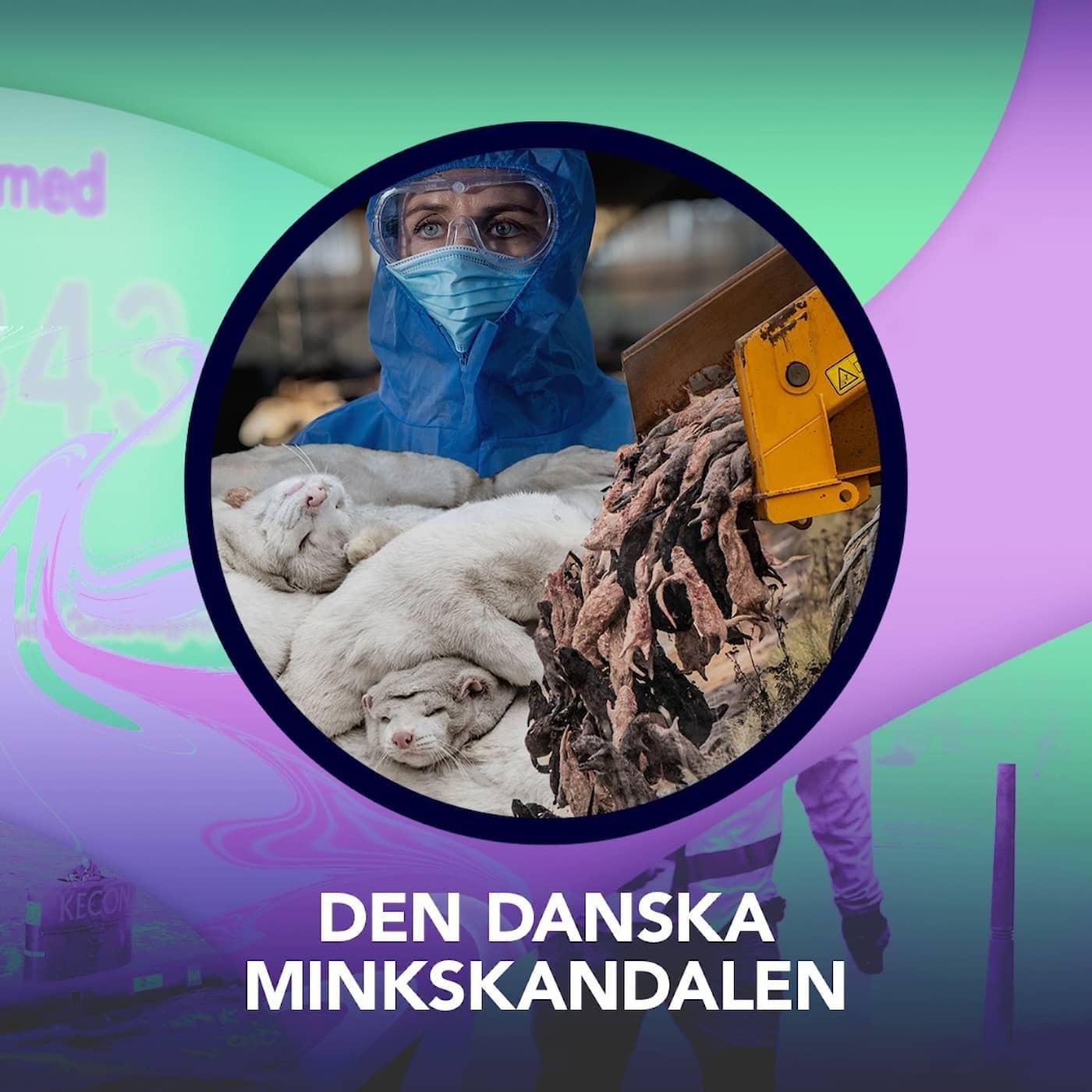 Den danska minkskandalen – P3 Nyheter Dokumentär