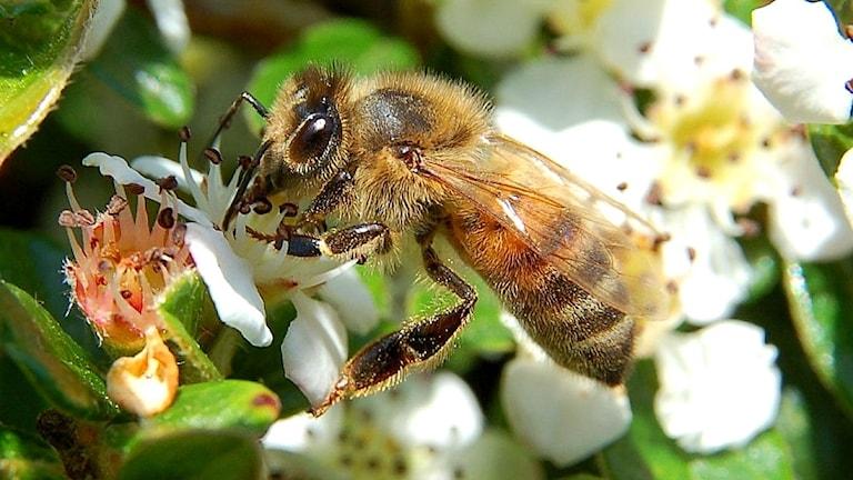 Ett honungsbi sitter på en blomma.