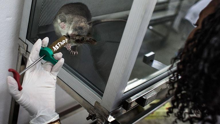 En råtta i laboratorium får godis som belöning.