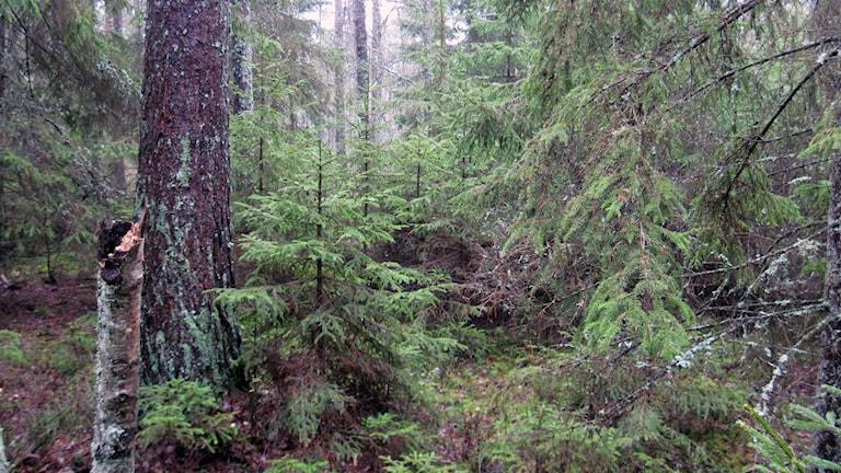 I en skog som inte brukas växer gamla och unga träd sida vid sida. Foto: Sven Börjesson/Sveriges Radio