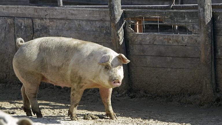 En gris i hagen. Foto: TT
