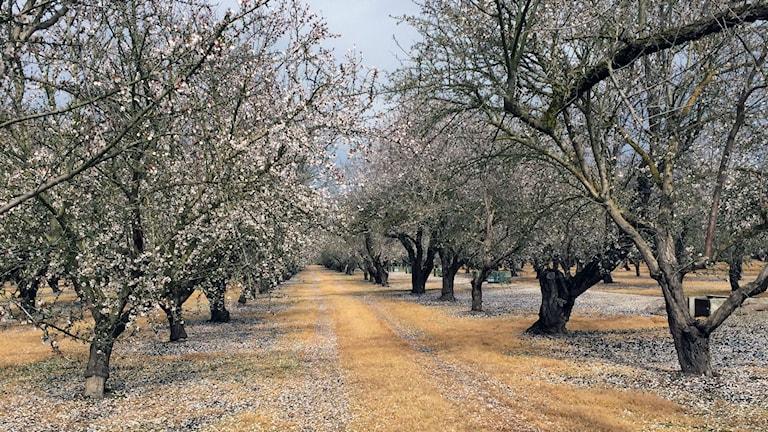 Trots torkan planteras massor med nya mandelträd. Foto: Agneta Furvik/Sveriges Radio