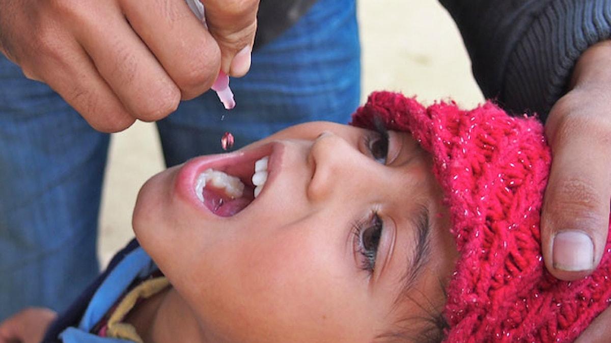 99 % av alla poliofall i världen har försvunnit tack vare vaccinering. Här oralt vaccin i droppar. Foto: CDC Global (CC BY 2.0)