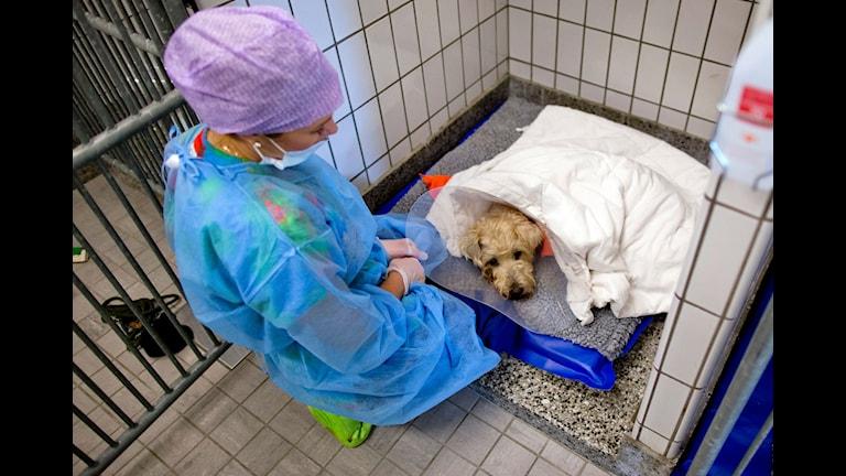 En djursjukskötare tar hand om en hund efter en operation. Foto: Adam Ihse/TT
