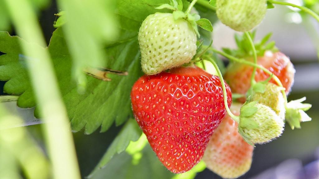 Närbild på ett knippe jordgubbskart och en mogen jordgubbe på en planta.