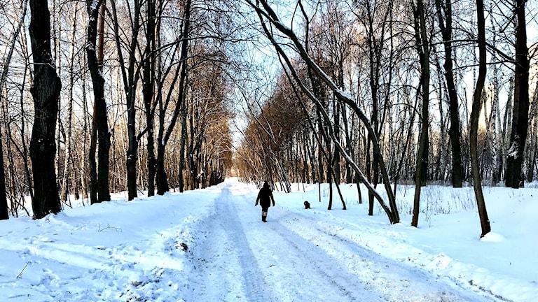 en kvinna går längst en allé i snötäckt landskap Vera Grisjina och hunden  Rich i Kuntsevo. 1b32e376f5703