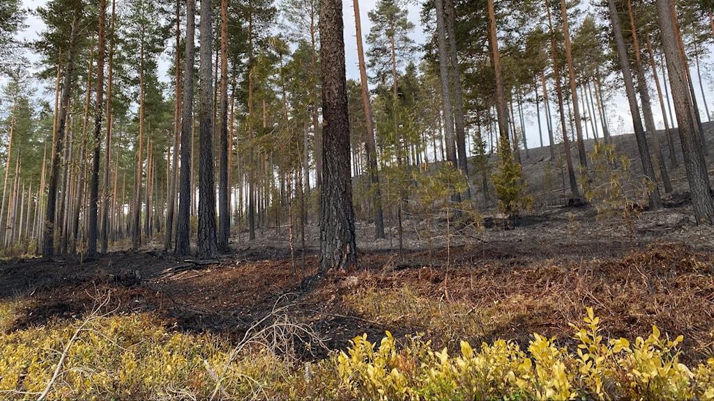 En branddrabbad skog.