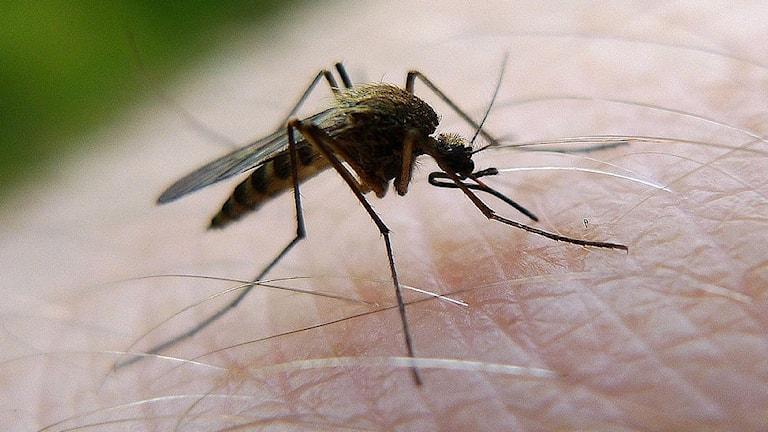 Statens veterinärmedicinska anstalt vill kartlägga myggorna i Sverige.