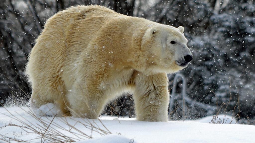 Polar Bear Killed Zoo