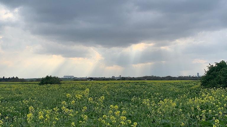 Fält av grönt.