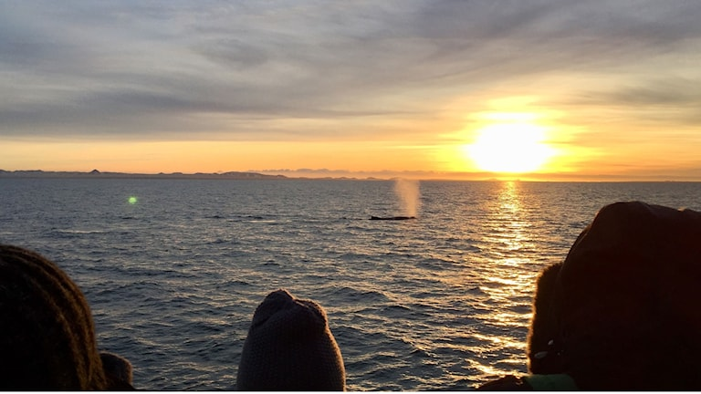 Det är inte alla valsafarin som bjuder på både en knölval och vacker solnedgång.