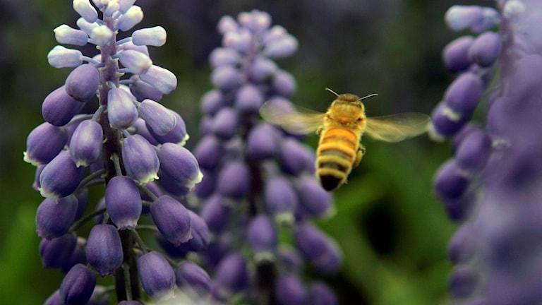 Pollinatör.
