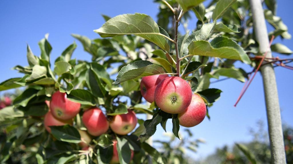 Röda äpplen på en gren