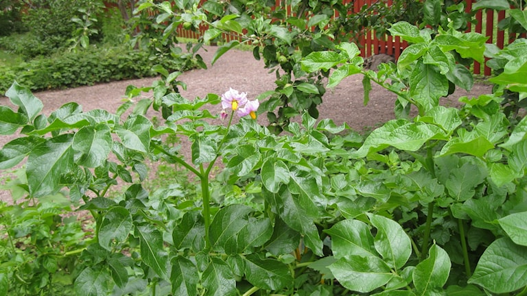Potatisen blommar i pallkragen. Foto: Ulla de Verdier/SR