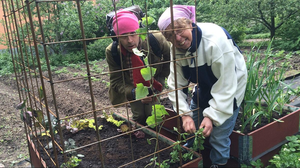 Gustaf och Maj-Lis planterar klängväxter. Foto Ulla de Verdier/Sveriges Radio