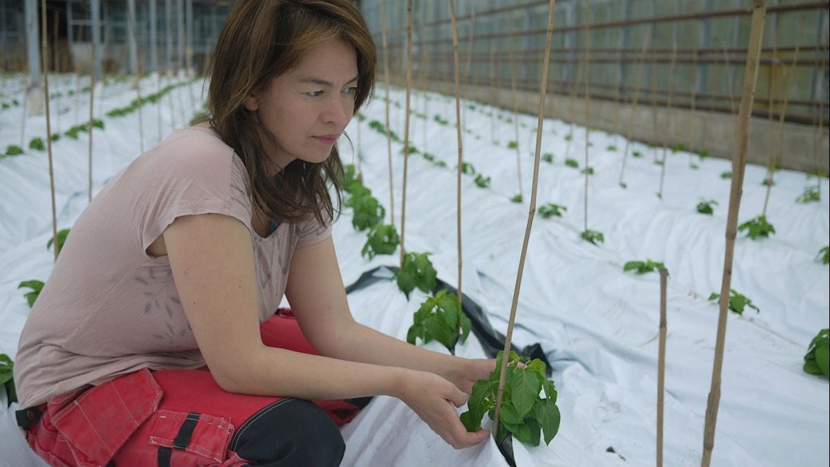 Sakura Holmqvist kontrollerar att inga oönskade kryp invaderat chiliplantan. Foto: Åsa Kjellman Erici