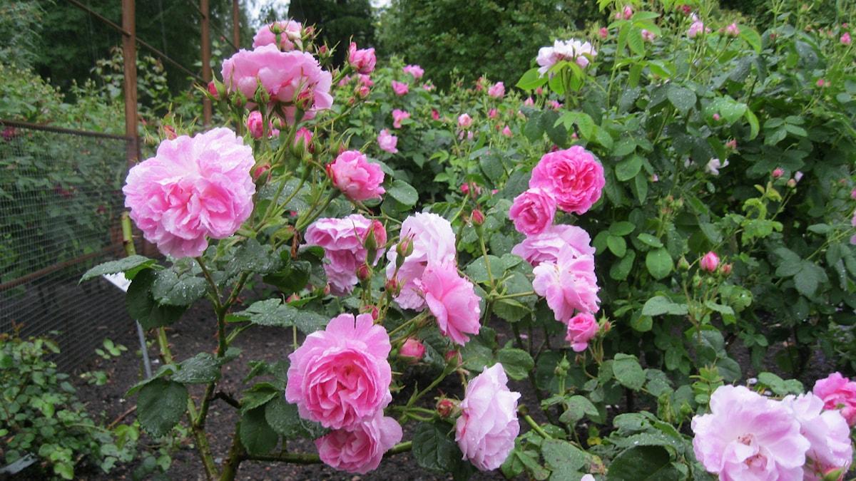 Rosor från Fredriskdals rosarium