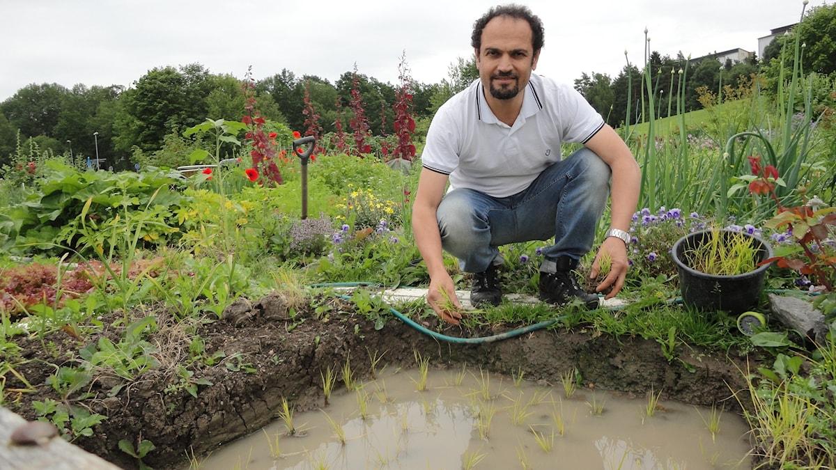 Shahryar Bakhshipoor vid sin risodling. Foto: Sara Sällström /SR