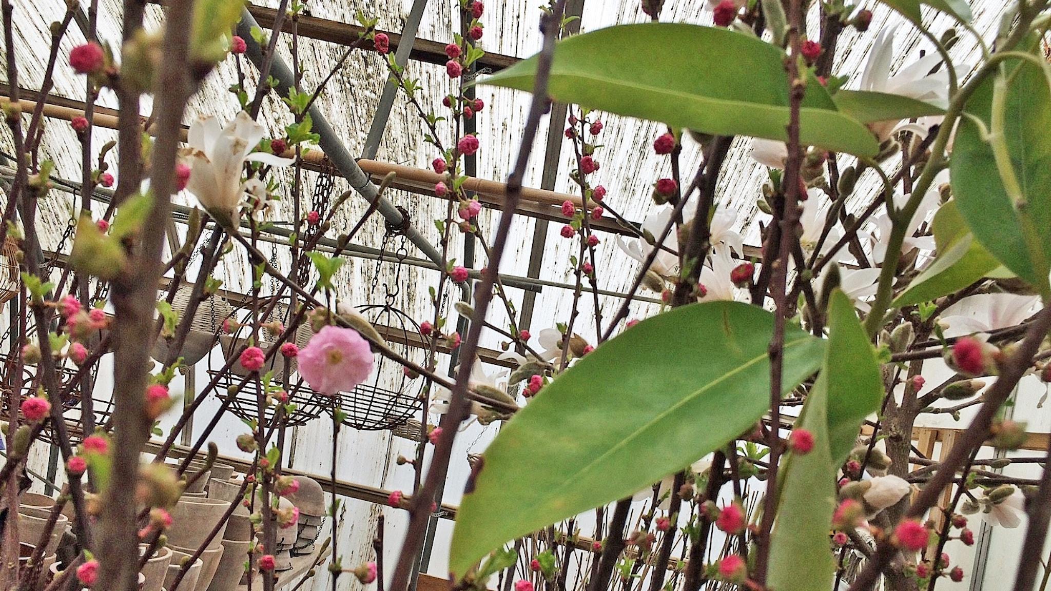 magnolia i handelsträdgård