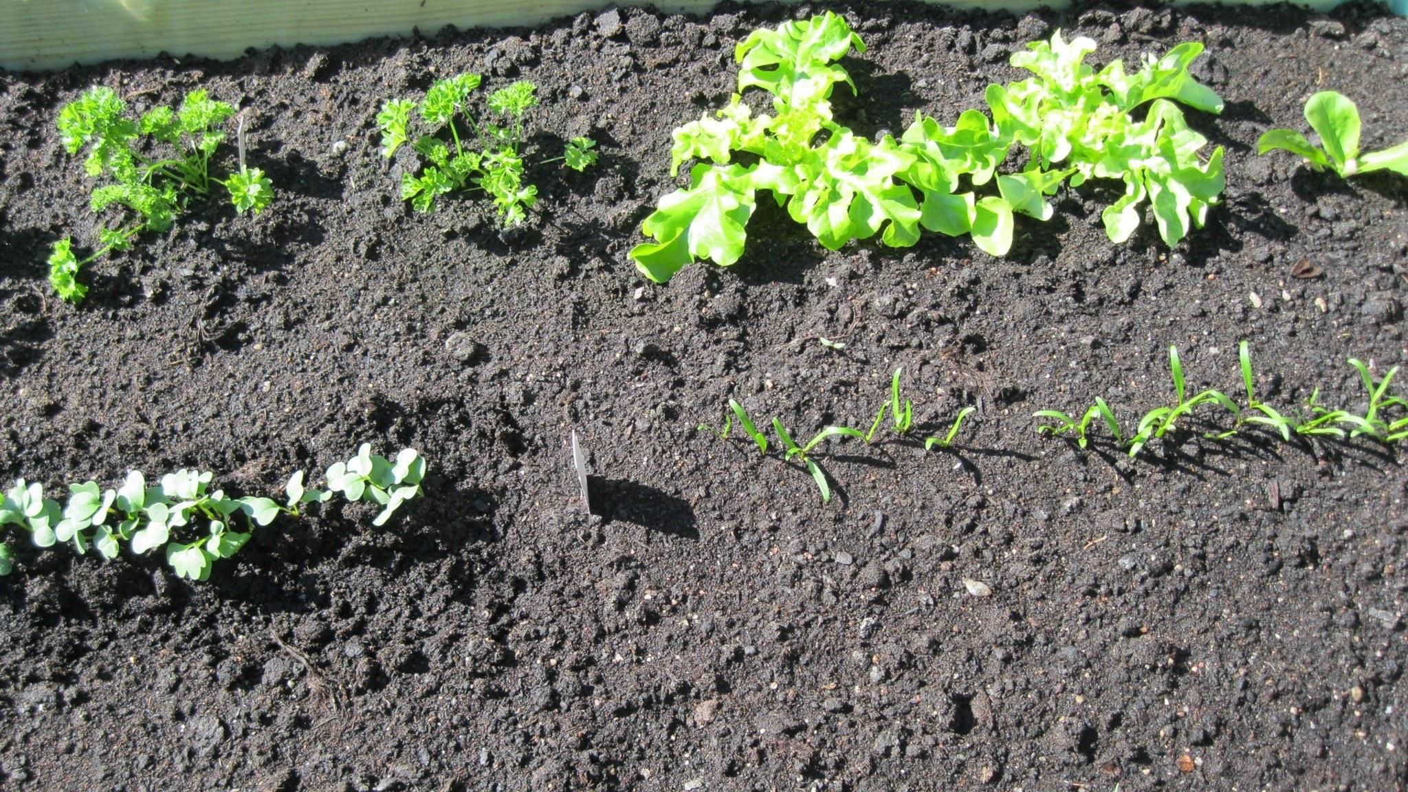 Sådden har kommit upp och plantorna vuxit. Foto: Ulla de Verdier/SR
