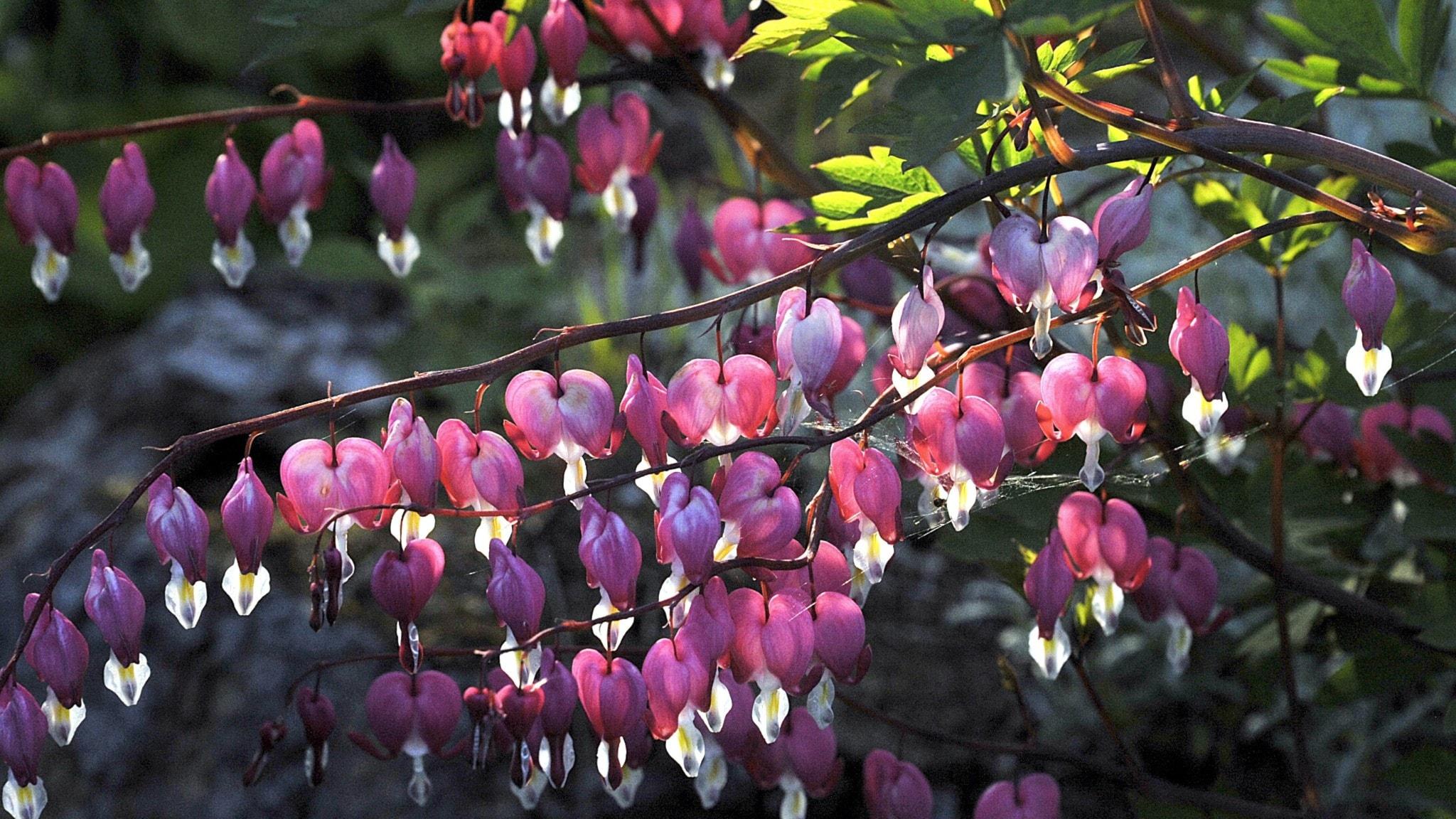 Löjtnantshjärtats hjärtformade blommor i kvällssol