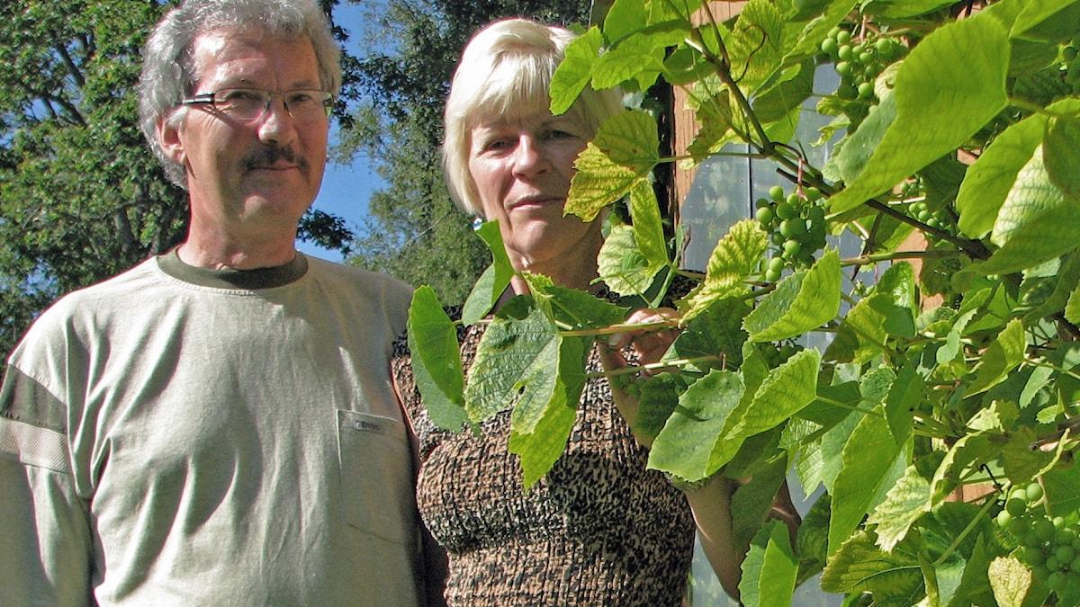 Ülo Kalm i grå långärmad tröja, grå mustasch, grå glasögonbågar och grått hår. Han håller sin vänstar arm om sin hustrus midja, Lii Kalm som står till höger. Brungulmönstrad klänning, blonderat hår. För att de ska synas på bilden håller hon ner en gren av en klängande vinplanta som klättrar upp på en solbelyst fasad i trädgården. I förgrunden klasar med gröna vindruvsklasar.