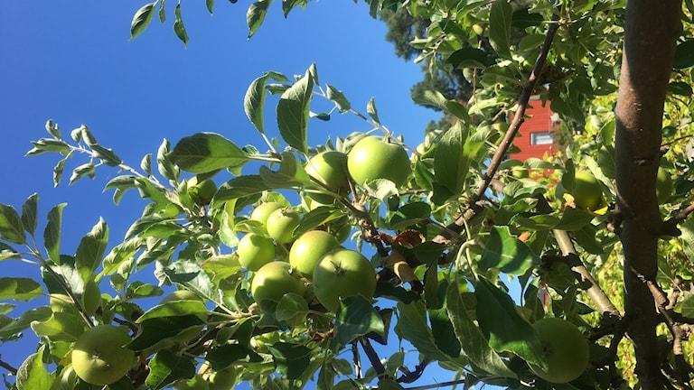 Kartgallring för större äpplen och frösamlande för fler perenner
