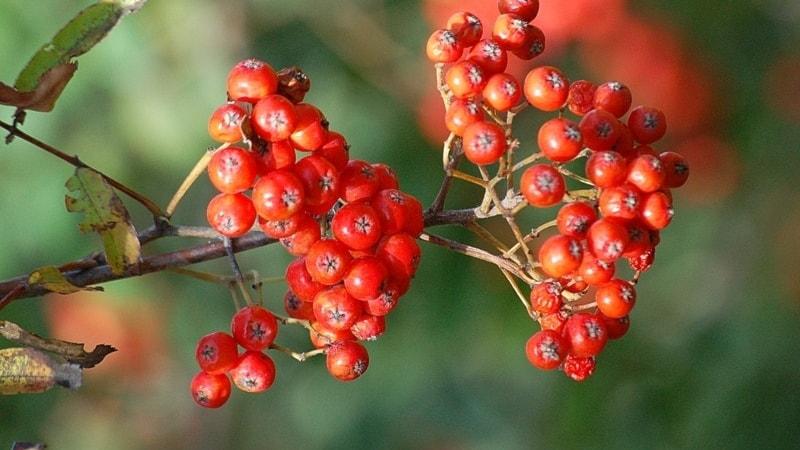 Nytt och snyggt på bärbuskar och fruktträd