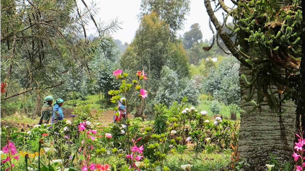 Tre afrikanska kvinnor går tillsammans i en blosmterfylld trädgårtd, rosa blommor i förgrunden, en grov grå trädstam till höger. trädgården kuperard med många buskar och träd.