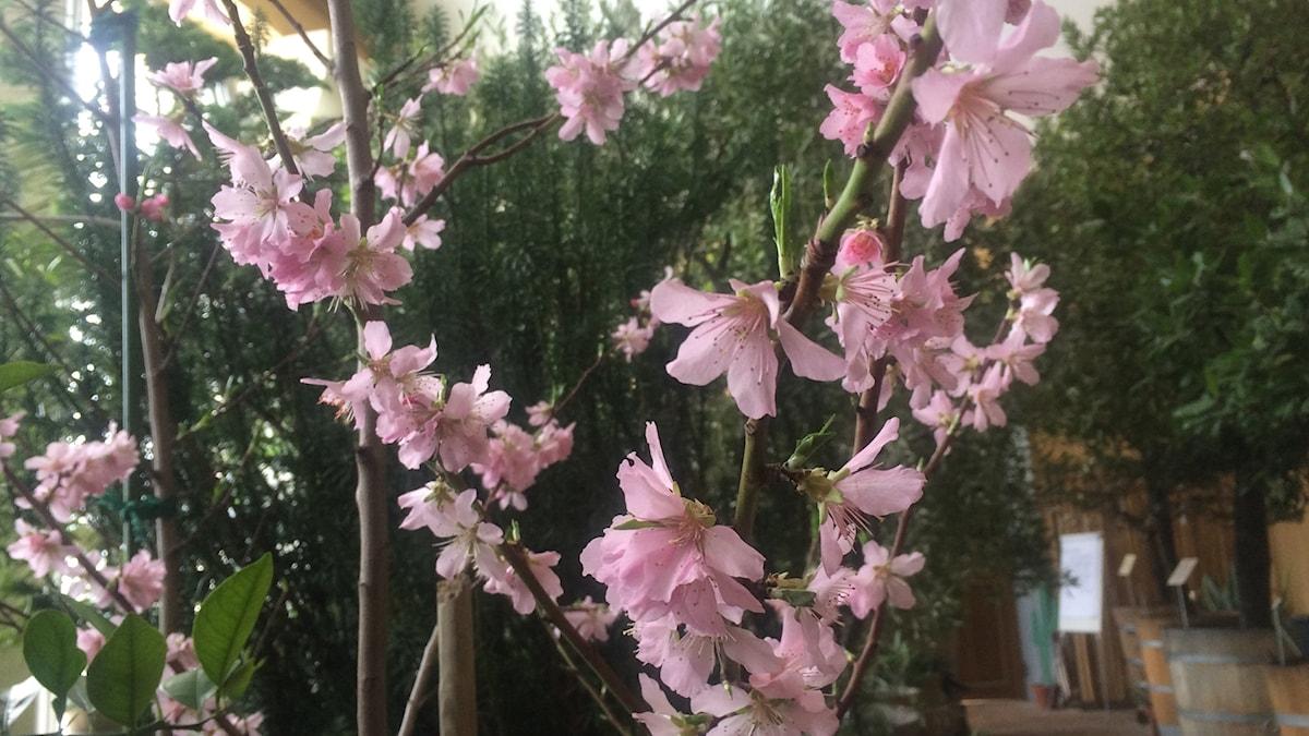 Blommande mandelträd