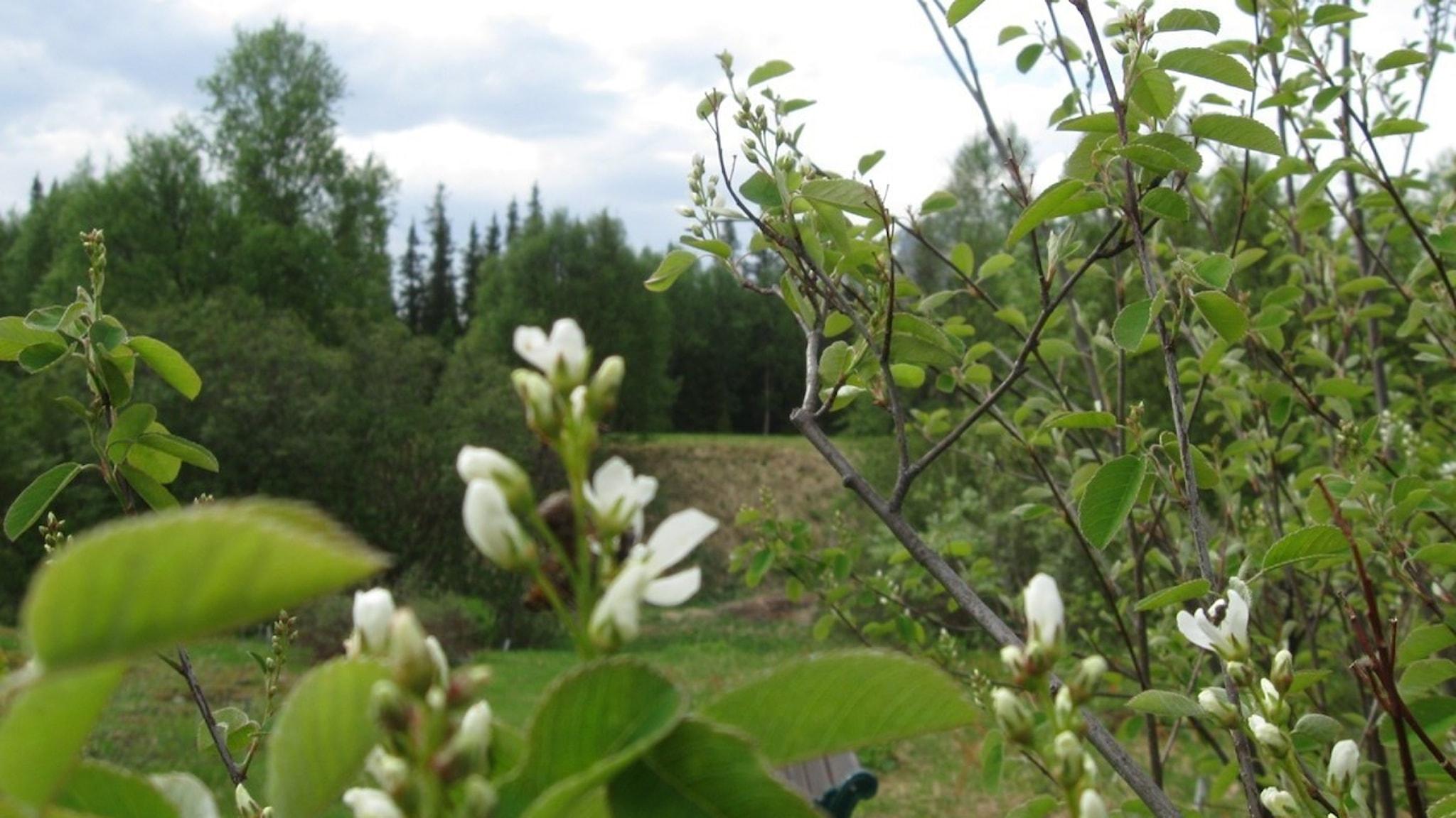 Häggmispeln blommar. Foto: Ulla de Verdier/SR