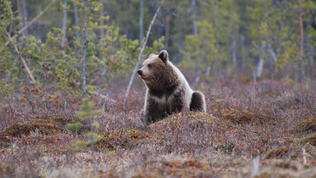 En brunbjörn sitter på rumpan och tittar ut över ett parti ungskog i höstskrud.