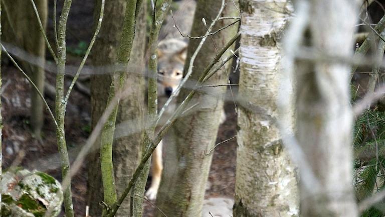 Susi puiden takana piilossa.