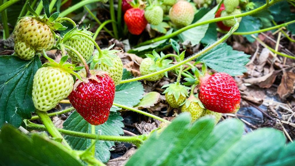 Jordgubbar från jordgubbsodlaren Ingemar Brandt utanför Hedemora