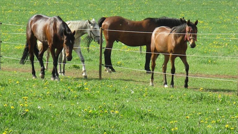 Hevosia laitumella Vaggerydissä.