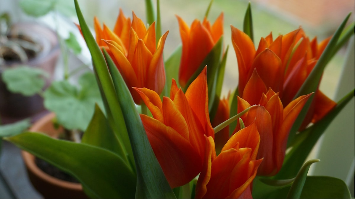 Tulppaanit tuovat kevättä / Tulpaner är ett vårtecken. Kuv/Foto: Johanna Lindegaard