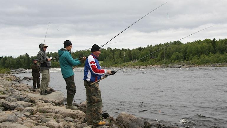 Himottu saalis on jo suurimpien parvien osalta ehtinyt kauemmas yläjuoksulle, ja sen perässä kalastajat. Vielä kannattaa Matkakoskellakin kalastaa. Foto/Kuva: Hannele Kenttä