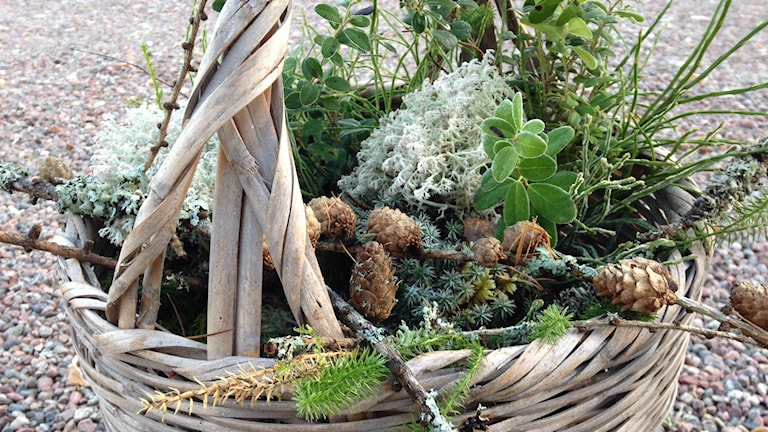 Metsän koristesatoa. Foto Pirjo Hamilton.SR Sisuradio