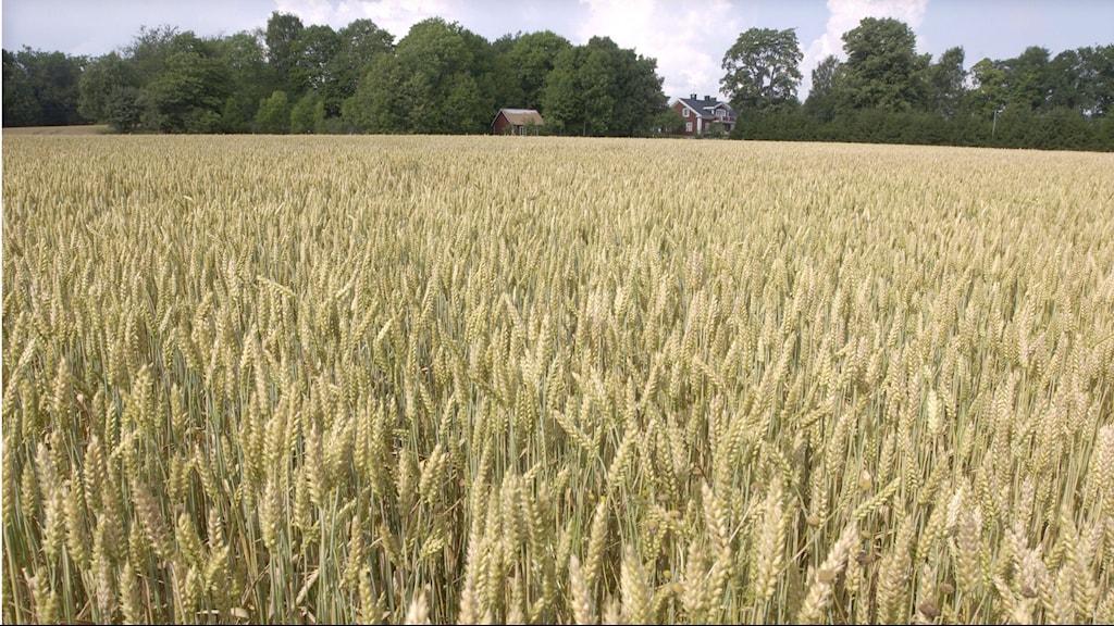 Kesäinen viljapeltoa, jonka takana maalaistalo ja metsää.