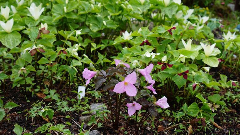 Kolmilehdet (Trillium) kukkivat aikaisin keväällä Töyrylän puutarhassa. Foto: Sirkka Jauho, SR Sisuradio