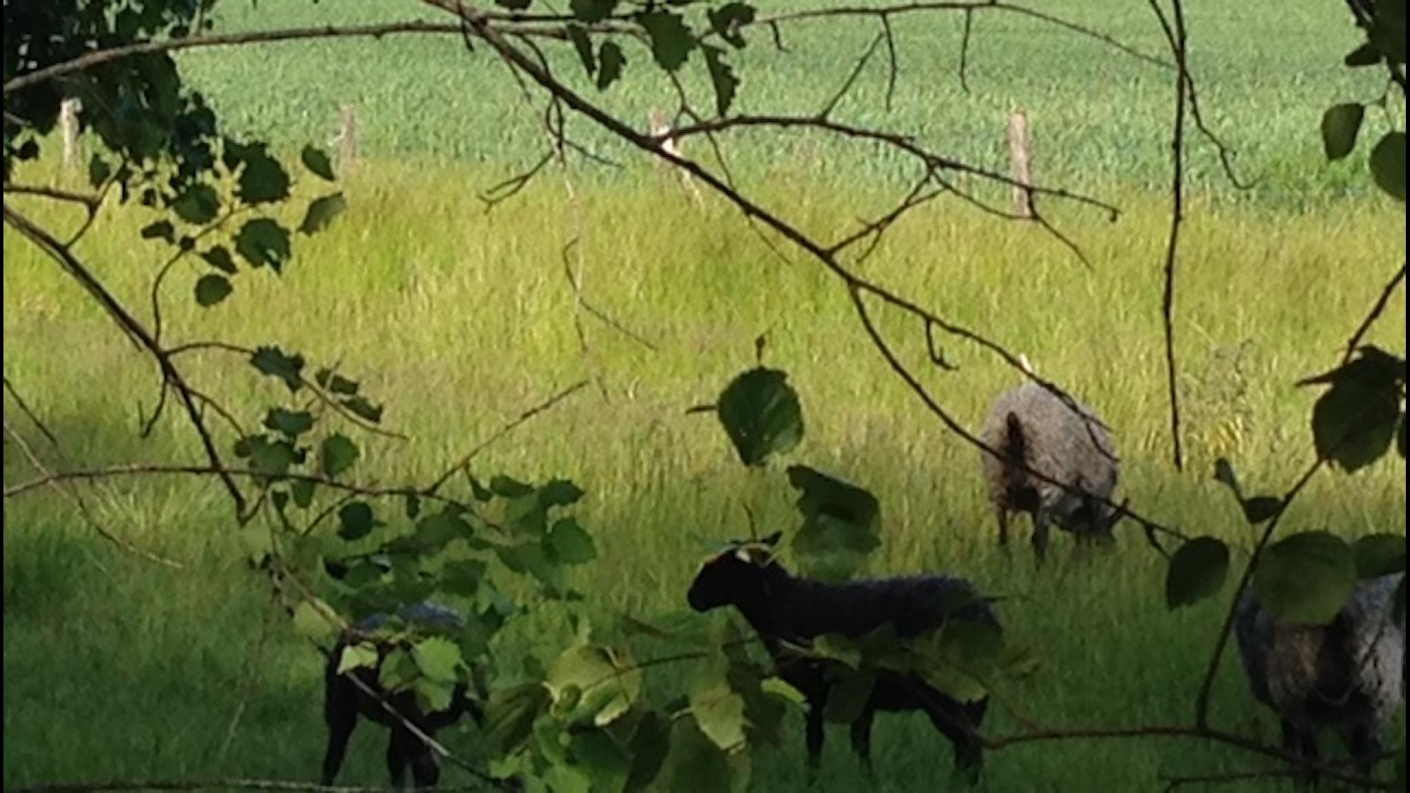 Lampaat elelevät elämystilalla