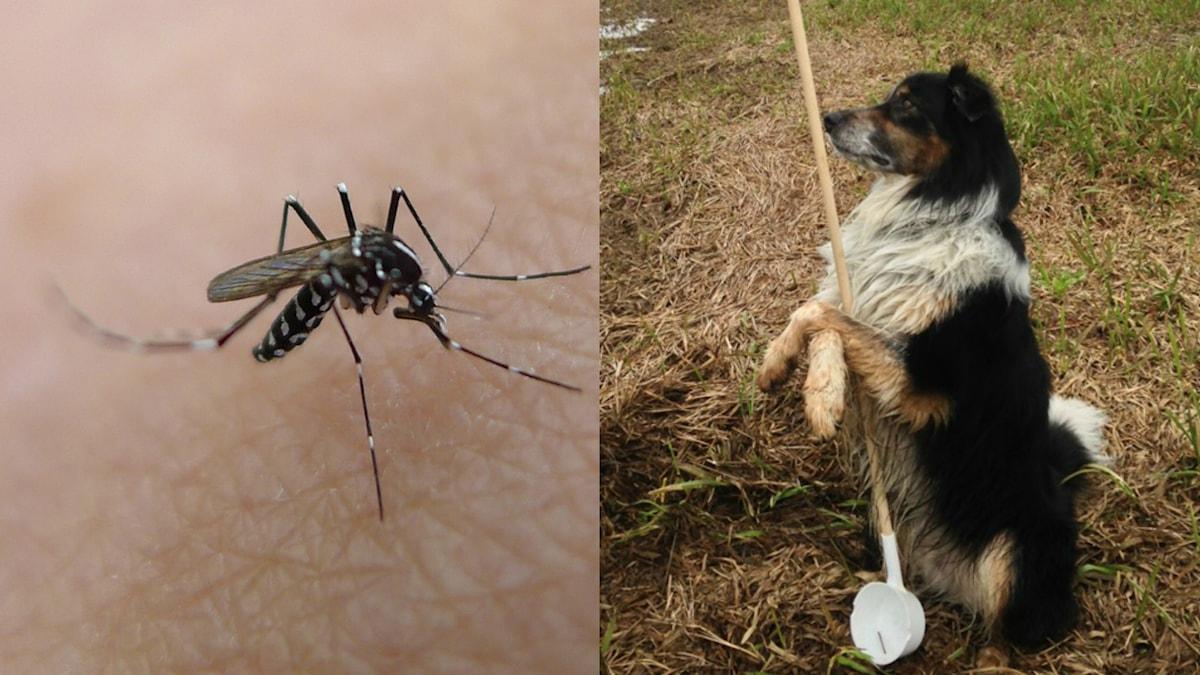 Mygga på en arm och en hund på en äng