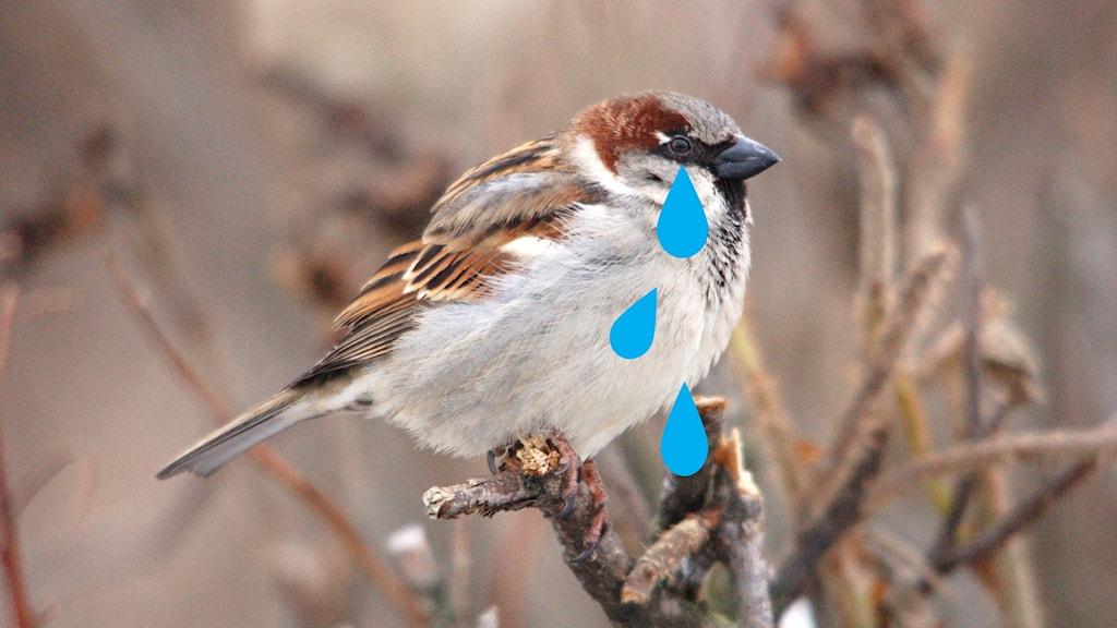 Kuva varpusesta, joka itkee suuria kyyneleitä. Foto: Teemu Lehtinen/Flickr/CCby2.0, muokattu
