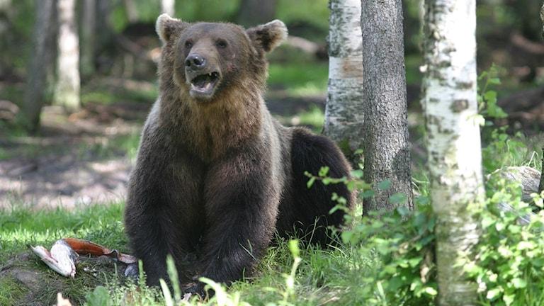 Karhu haukottelee. Björn som gäspar.