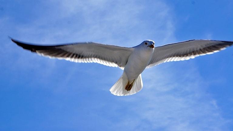 Lokki lentää