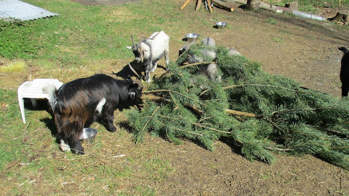 Vuohet tykkäävät syödä melkein mitä vaan, esimerkiksi tuoretta mäntyä. Siitä kalutaan pois kaikki, niin neulaset kuin kuorikin.